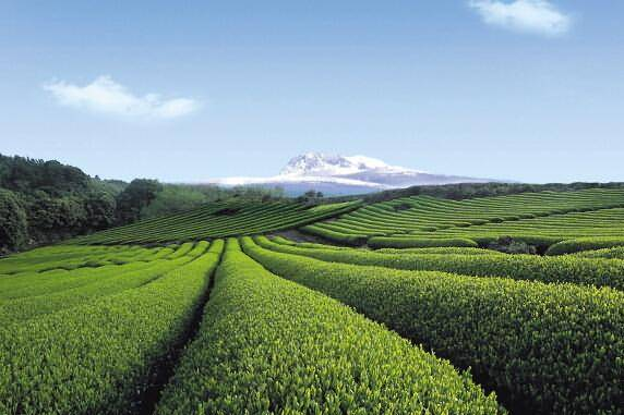 O'sulloc Green tea field